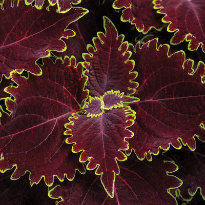 Coleus Wicked Witch